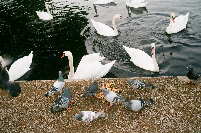 cygnes et pigeon sharing lunch, CHP.jpg
