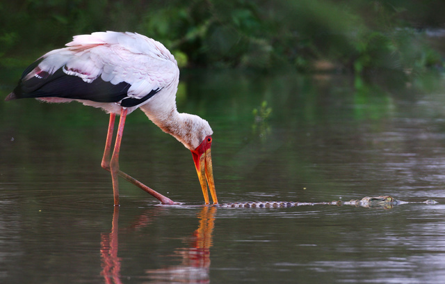 Yellow-billed Stork and crocodile