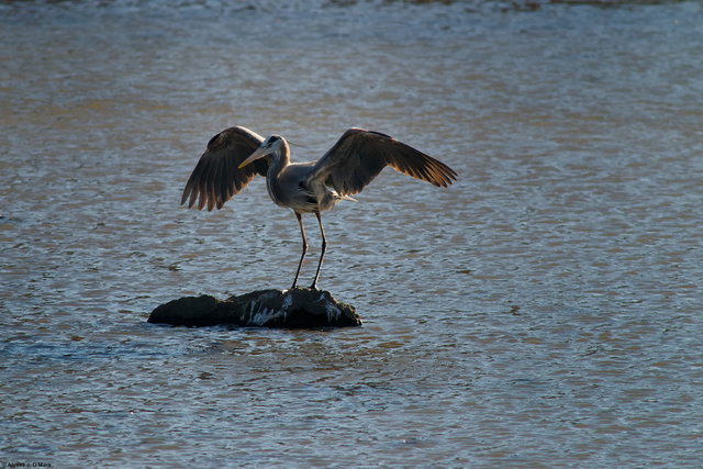 Landing Heron, Southborough, MA