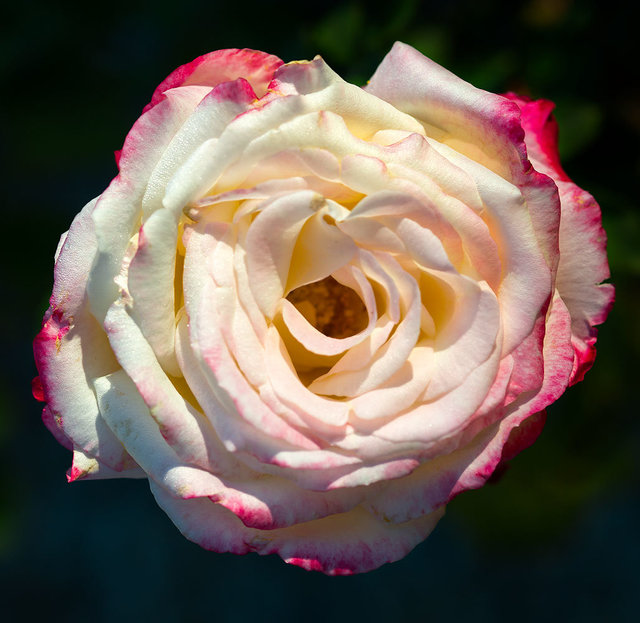 Rose#5BWhite_DSC8090-as-Smart-Object-1.jpg