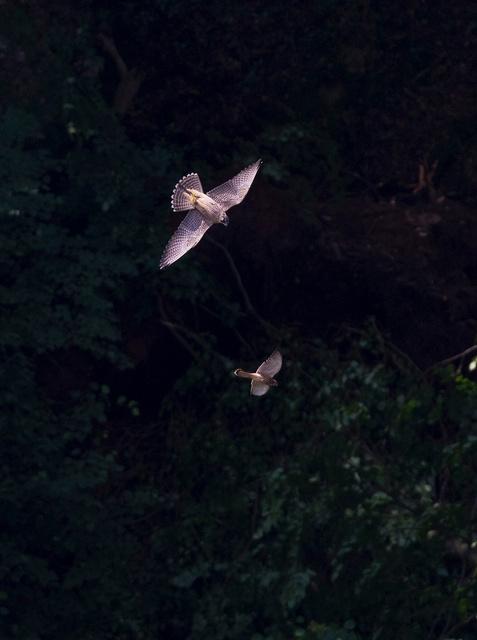 Juvenile peregrine falcon chasing kestrel