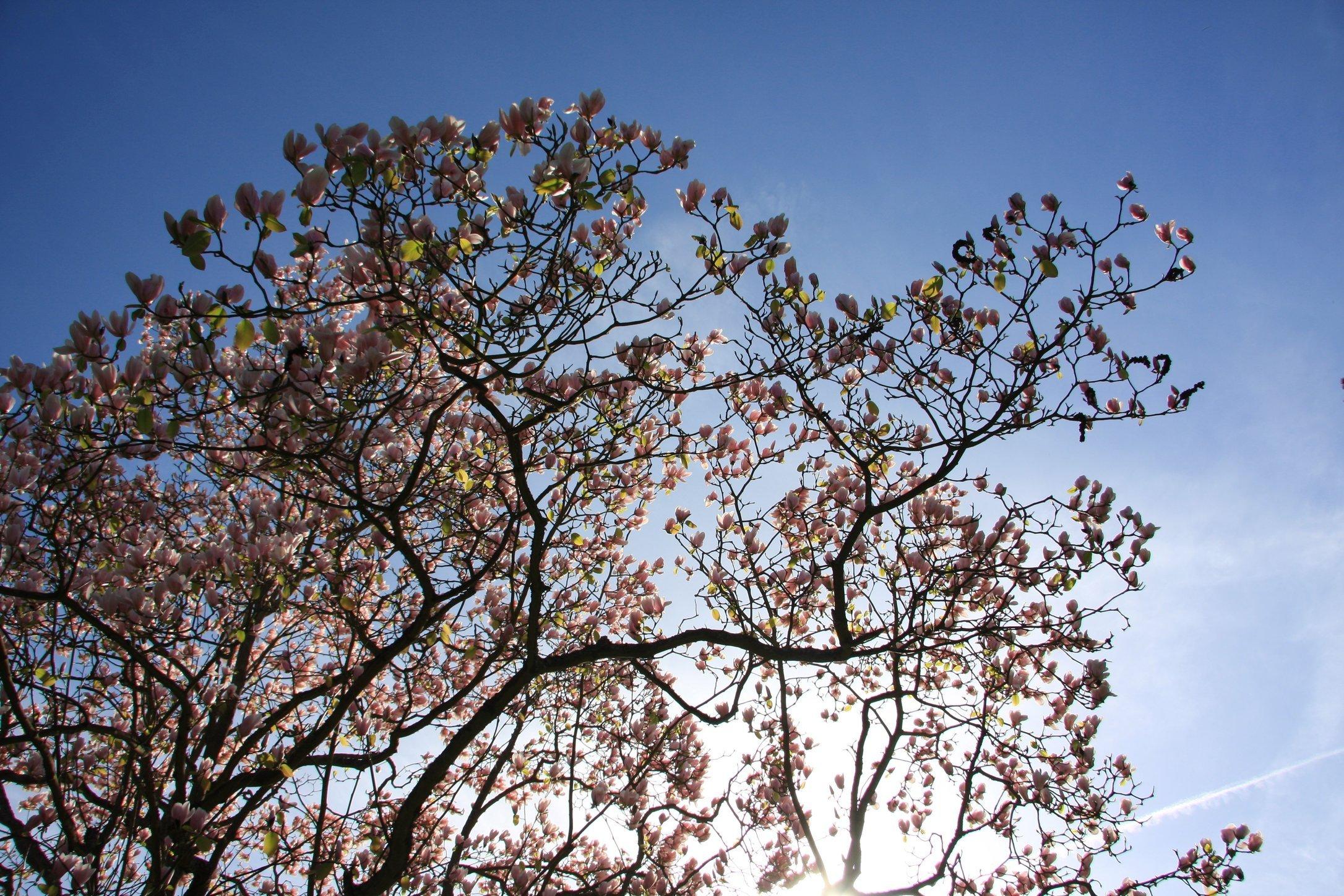Magnolia_5609431232_o.jpg