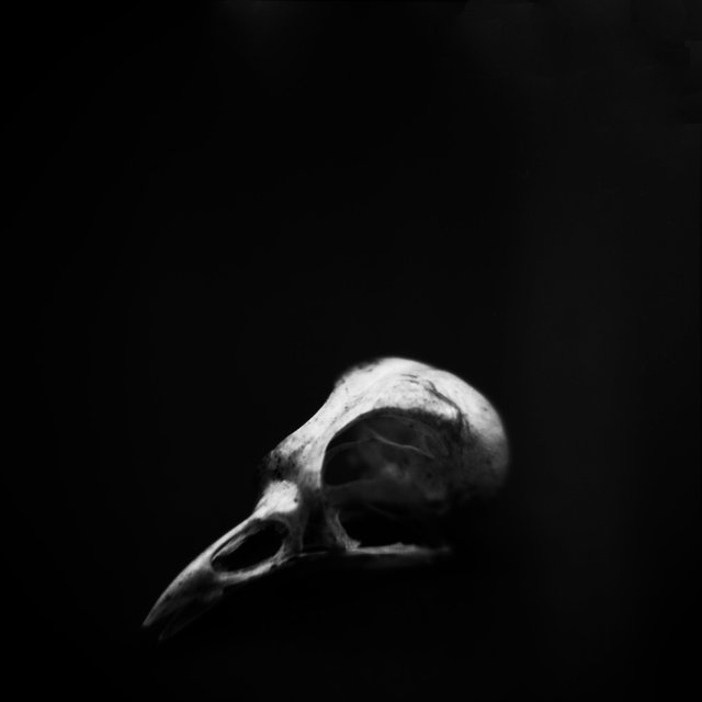 Skull, Blue-headed Vireo (<i>Vireo solitarius</i>), Holga 120N, Ilford Delta Pro 100, 2015
