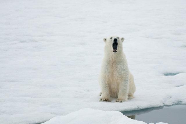 Polar Bear-Monacobreen, Svalbard 2.jpg