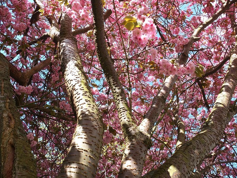 7- Pink Blossom 2015 by Alison Gracie