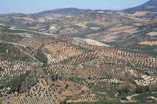 olijfbomenlandschap