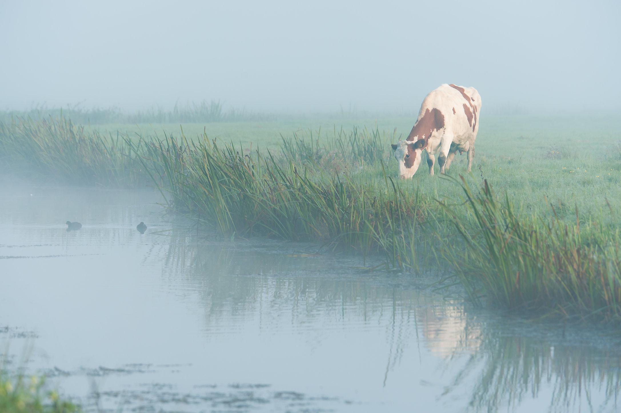 Koe in de mist, IJsselstein