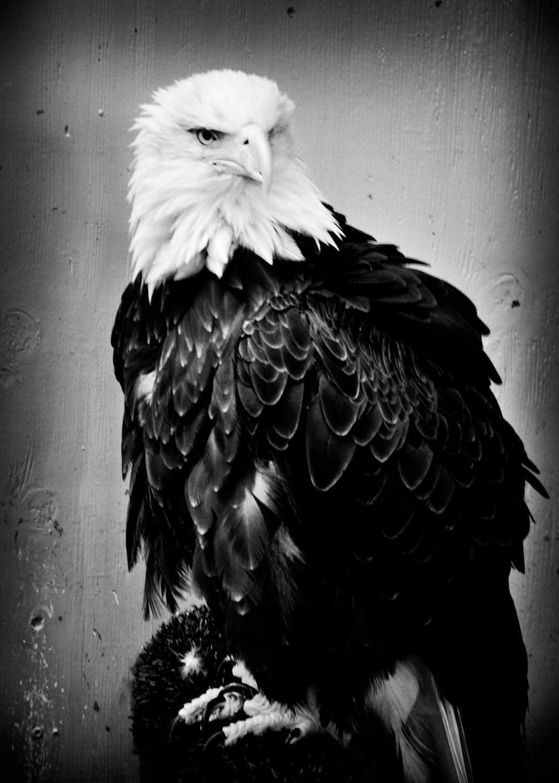 Eagle01A.jpg