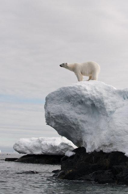 Polar Bear-Storøya Svalbard 2.jpg