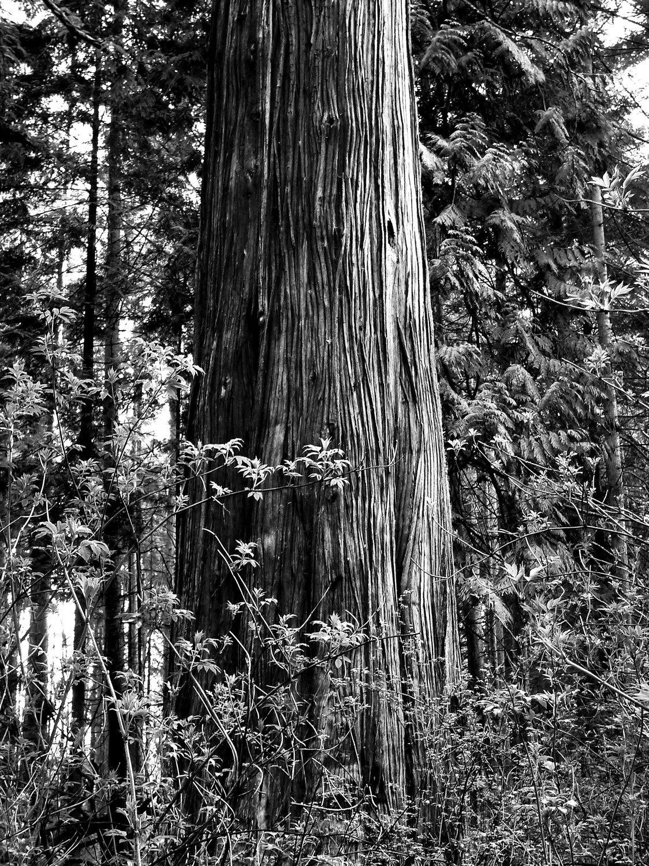 Tree-bw51.jpg