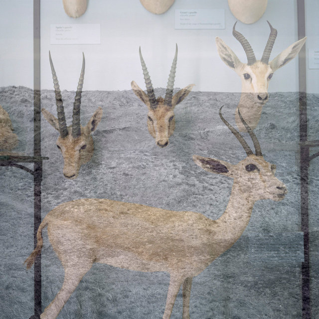 Rothschild_Overlay_gazelles.jpg