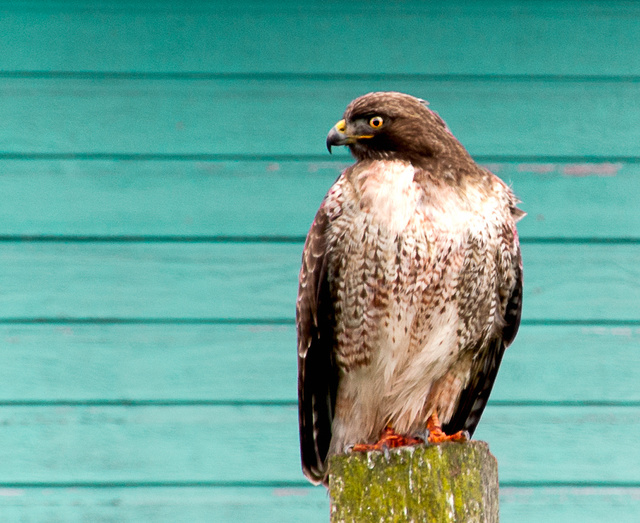 Red-tail Hawk, Point Reyes, California