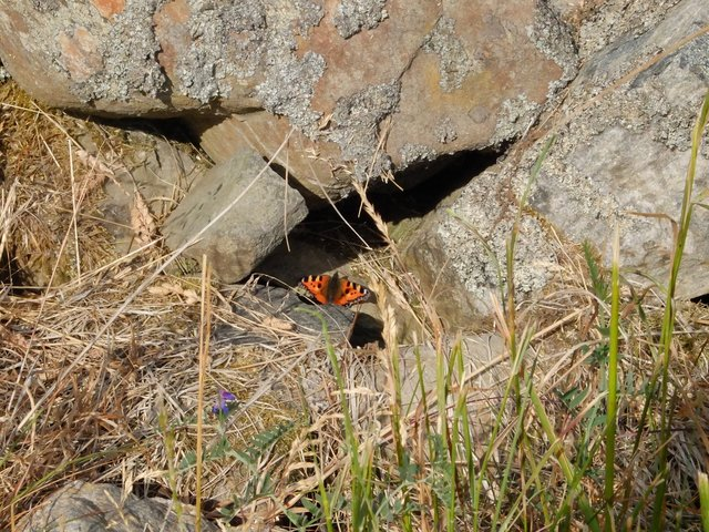 Sunbathing Small Tortoiseshell Butterfly by Alison