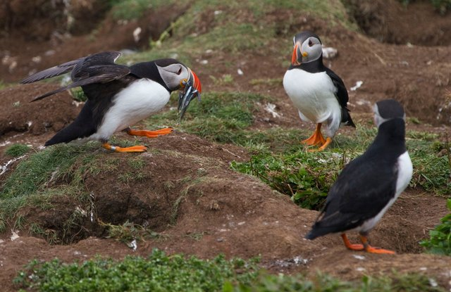 Puffin returning to burrow with sand eels