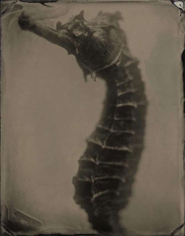 Hippocampus #12