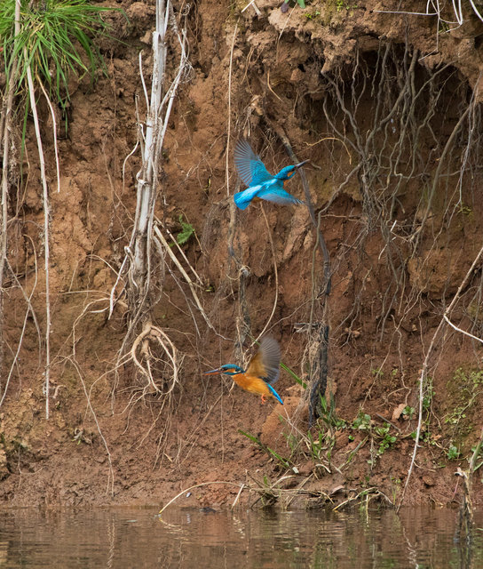 Pair of kingfishers taking turns to dig nest hole