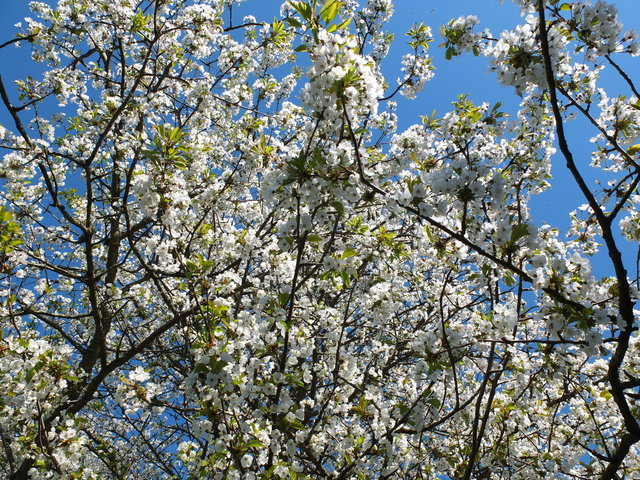White Blossom 1 by Alison Gracie