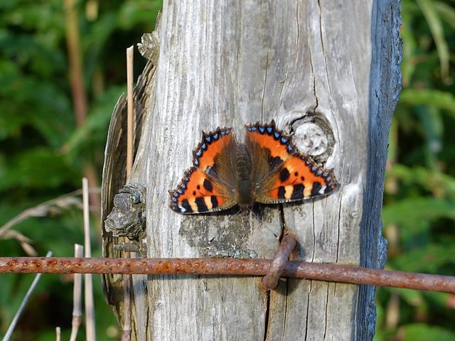 Small Tortoiseshell Butterfly by Alison Gracie