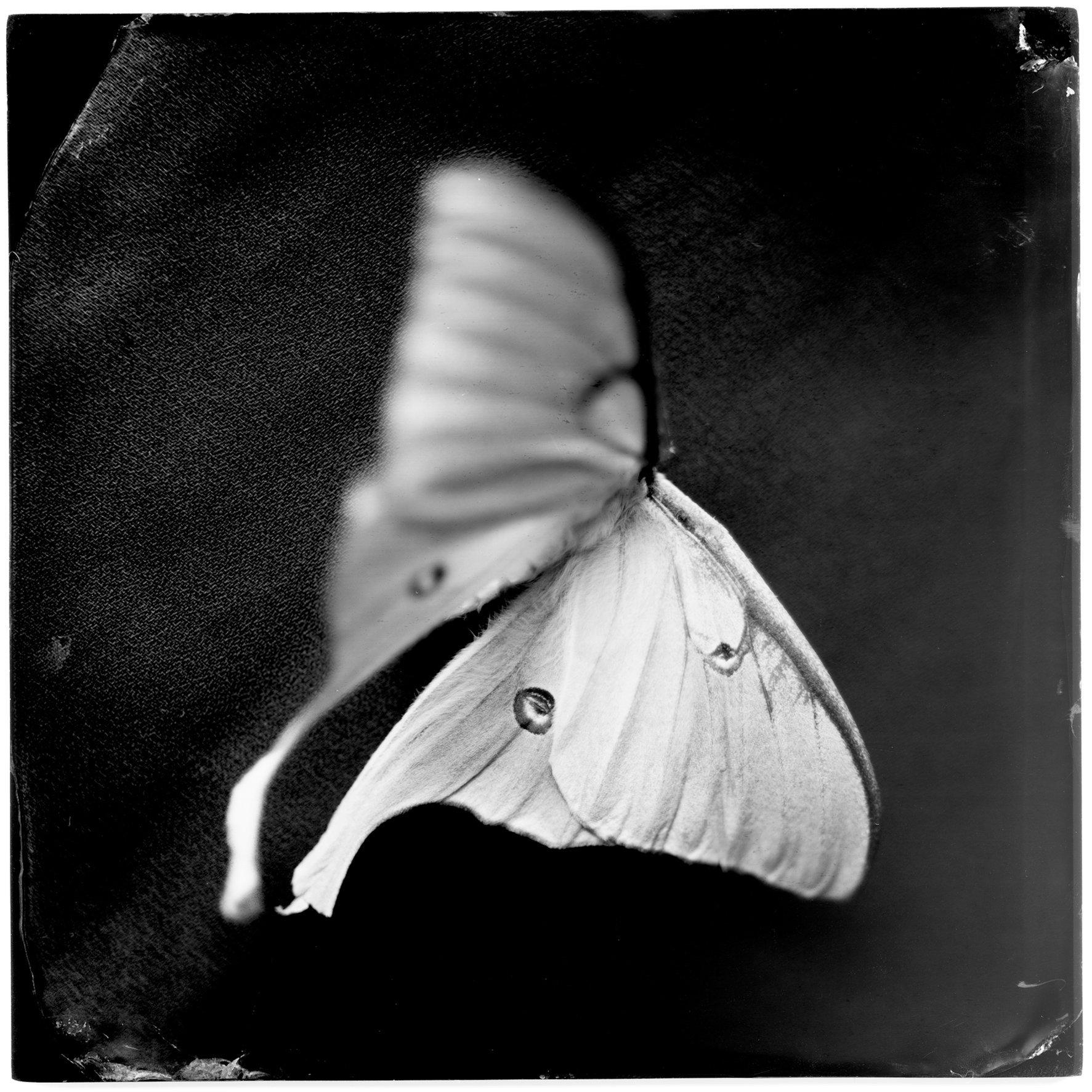 Actias Luna II (luna moth), 19th century