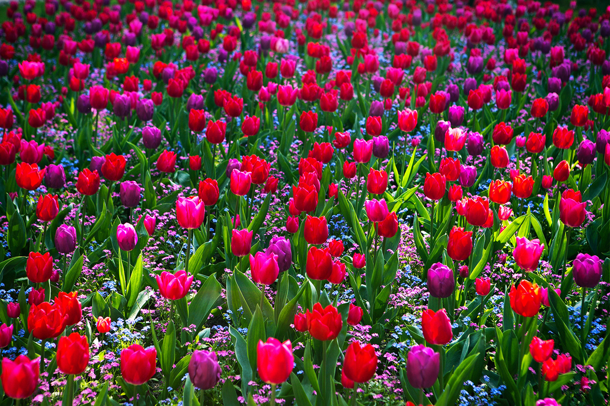 Tulips Take Over