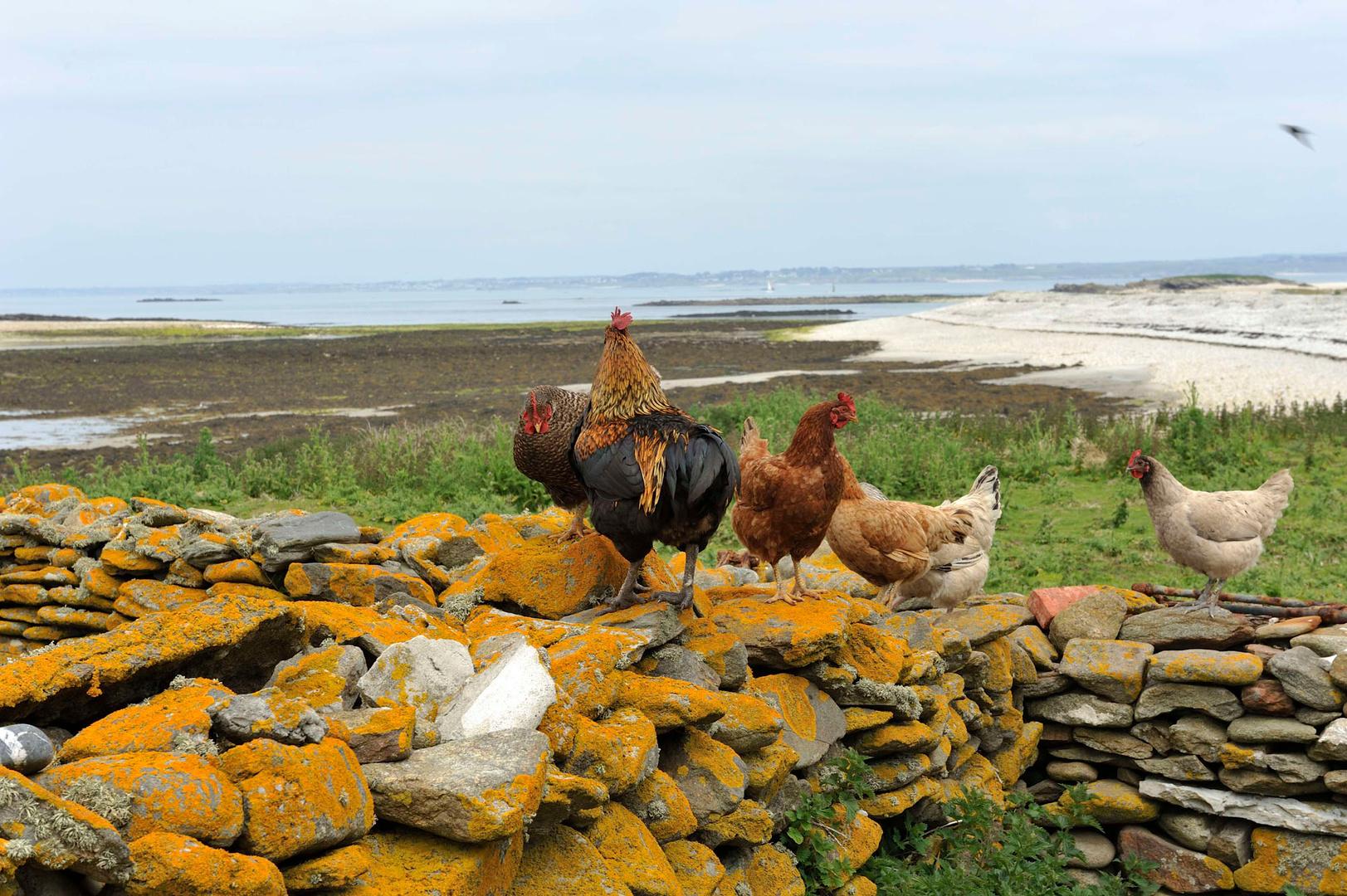 Heureux gallinacés qui, libres comme l'air, ne sont là que pour le fun et...les oeufs!