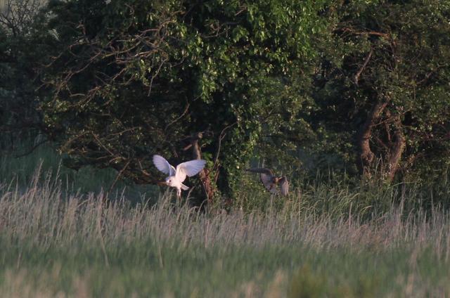 Kestrel taking prey from Barn Owl
