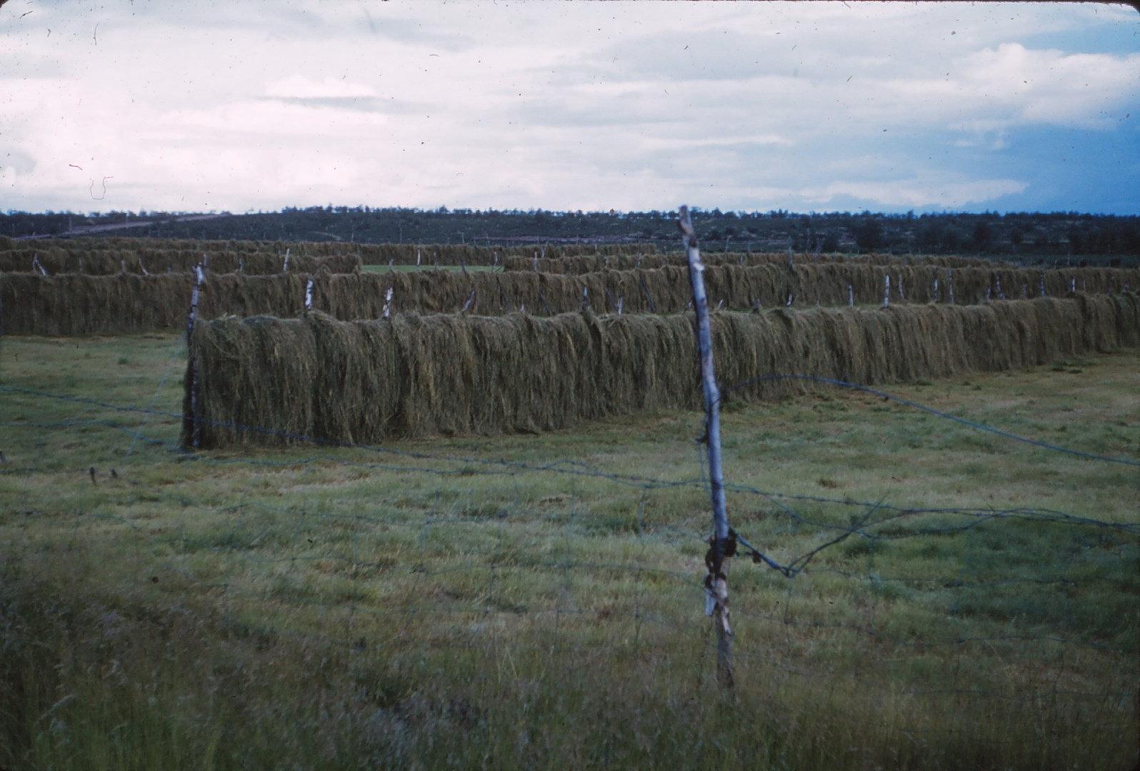 1087 (13) Siebe Gras op droogrekken