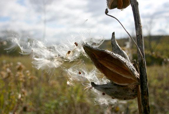 """Photography image: """"Blowing Milkweed"""""""