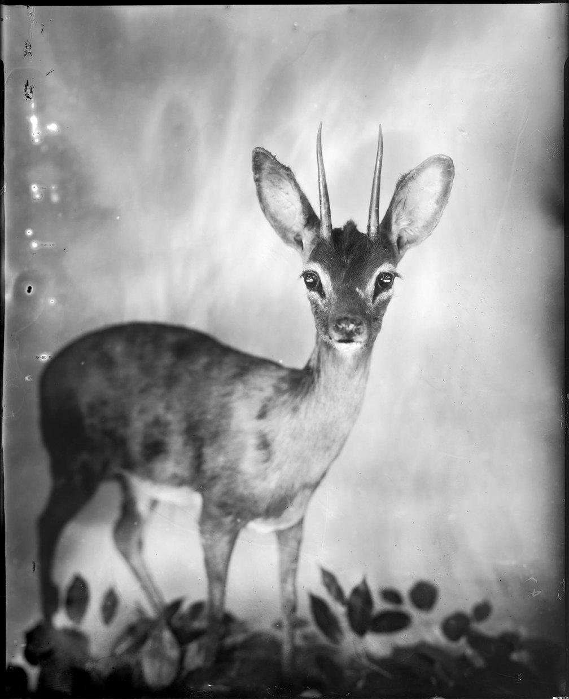 Horned Deer