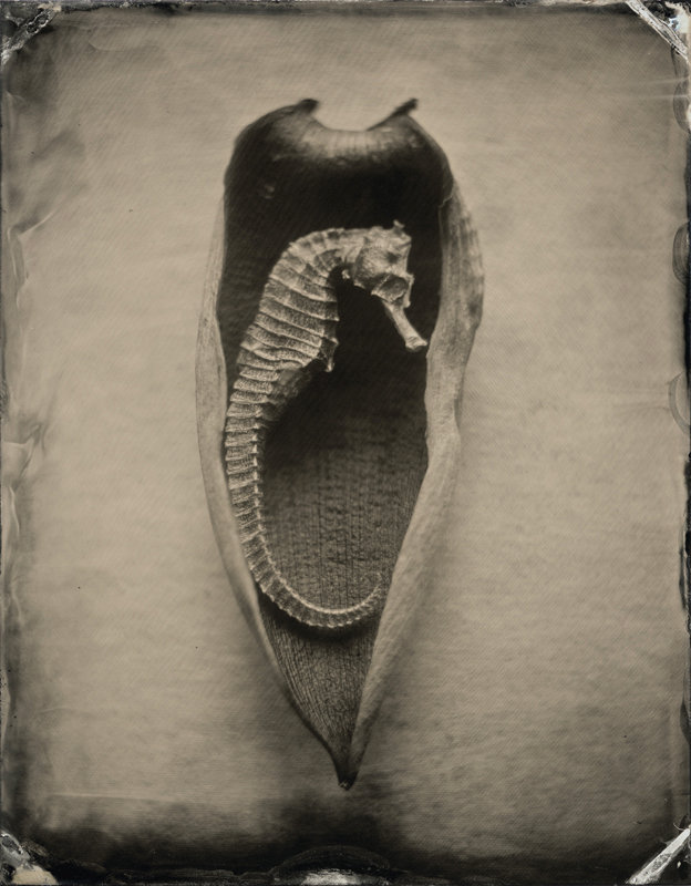Hippocampus #13