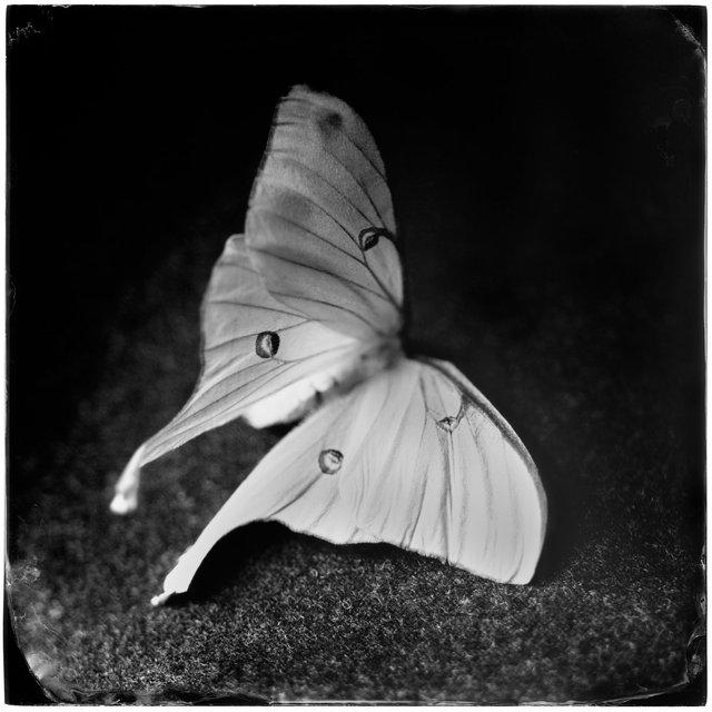 Actias Luna I (luna moth), 19th century