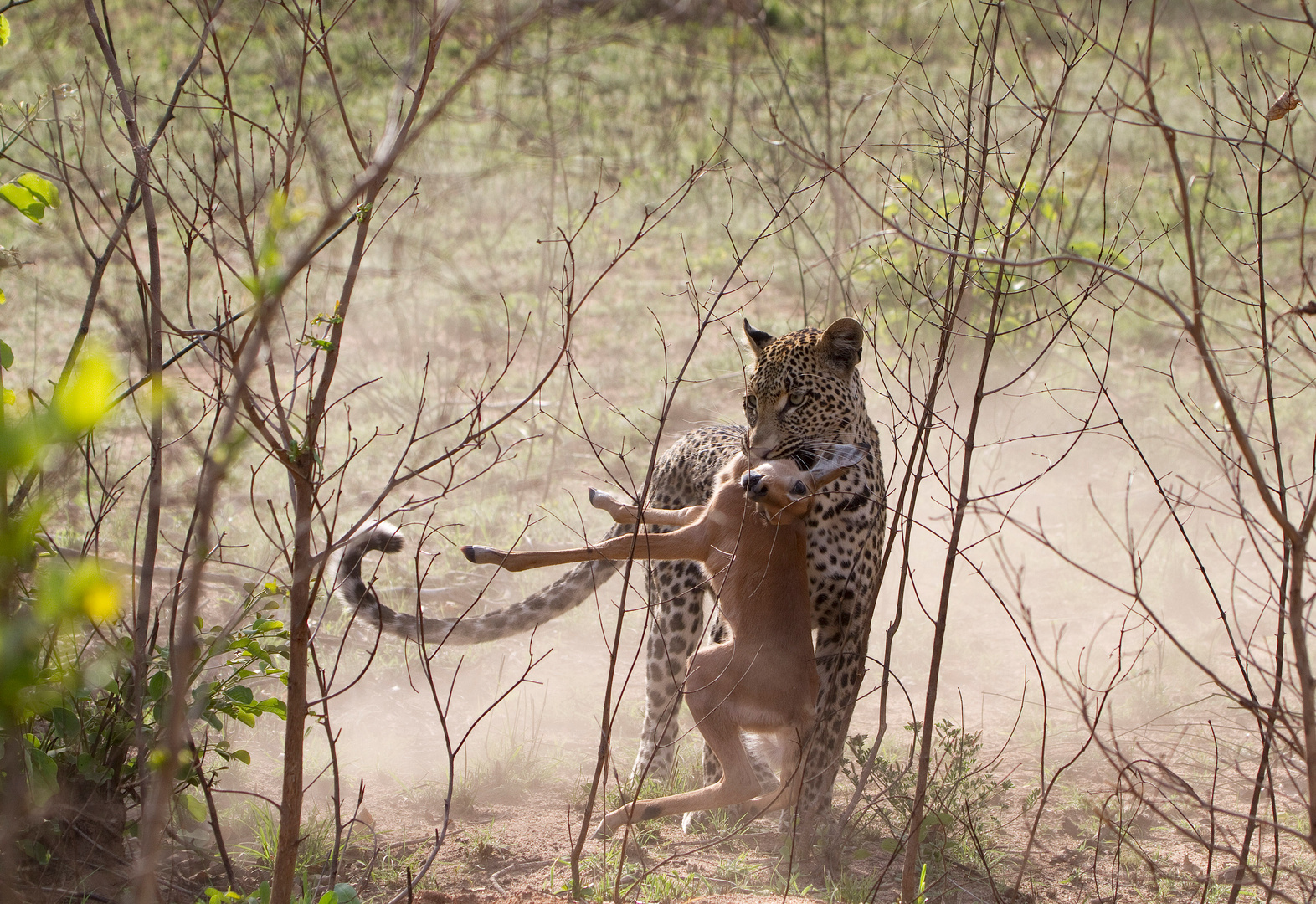 Leopard with impala