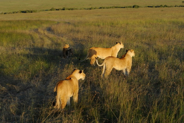 Lionsses Ready for the Kill, Masai Mara