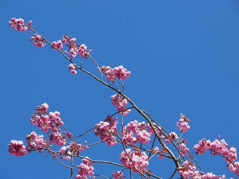 3- Pink Blossom 2015 by Alison Gracie