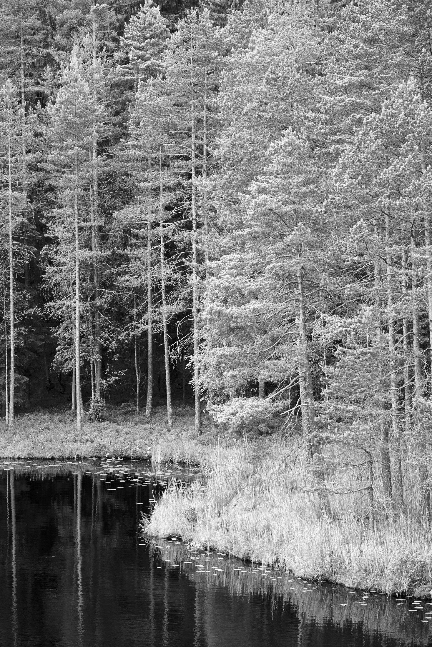 Pine Forest (Satumetsä)