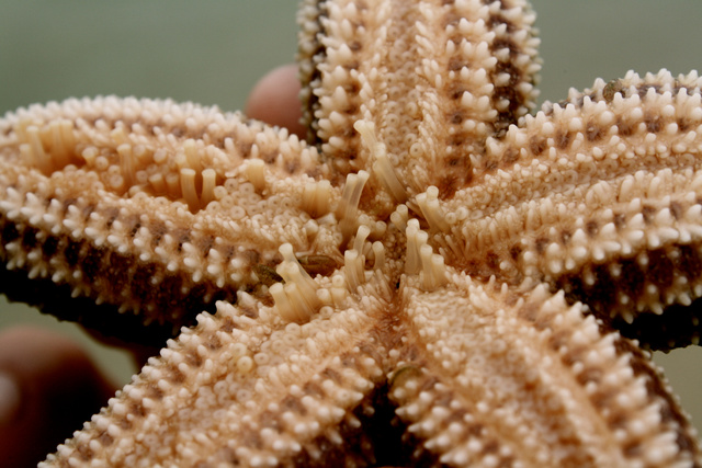 Starfish off the coast of Cape Cod, MA