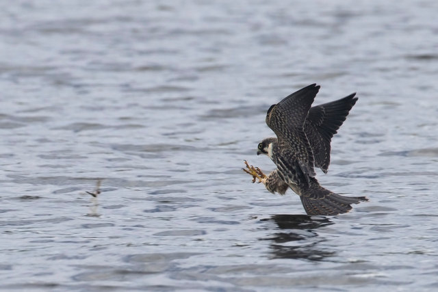 Hobby catching dragonflies