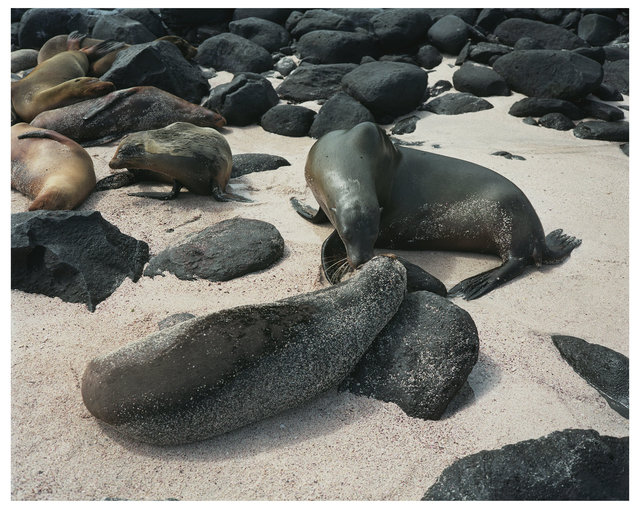 Animal Series Sea Lions.jpg