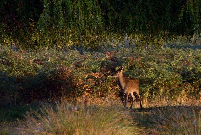 Red deer calf