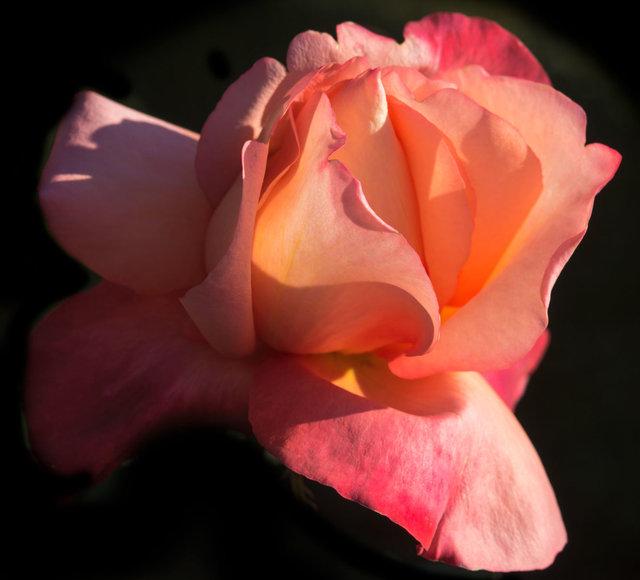 Rose7_DSC8354-1-as-Smart-Object-1.jpg