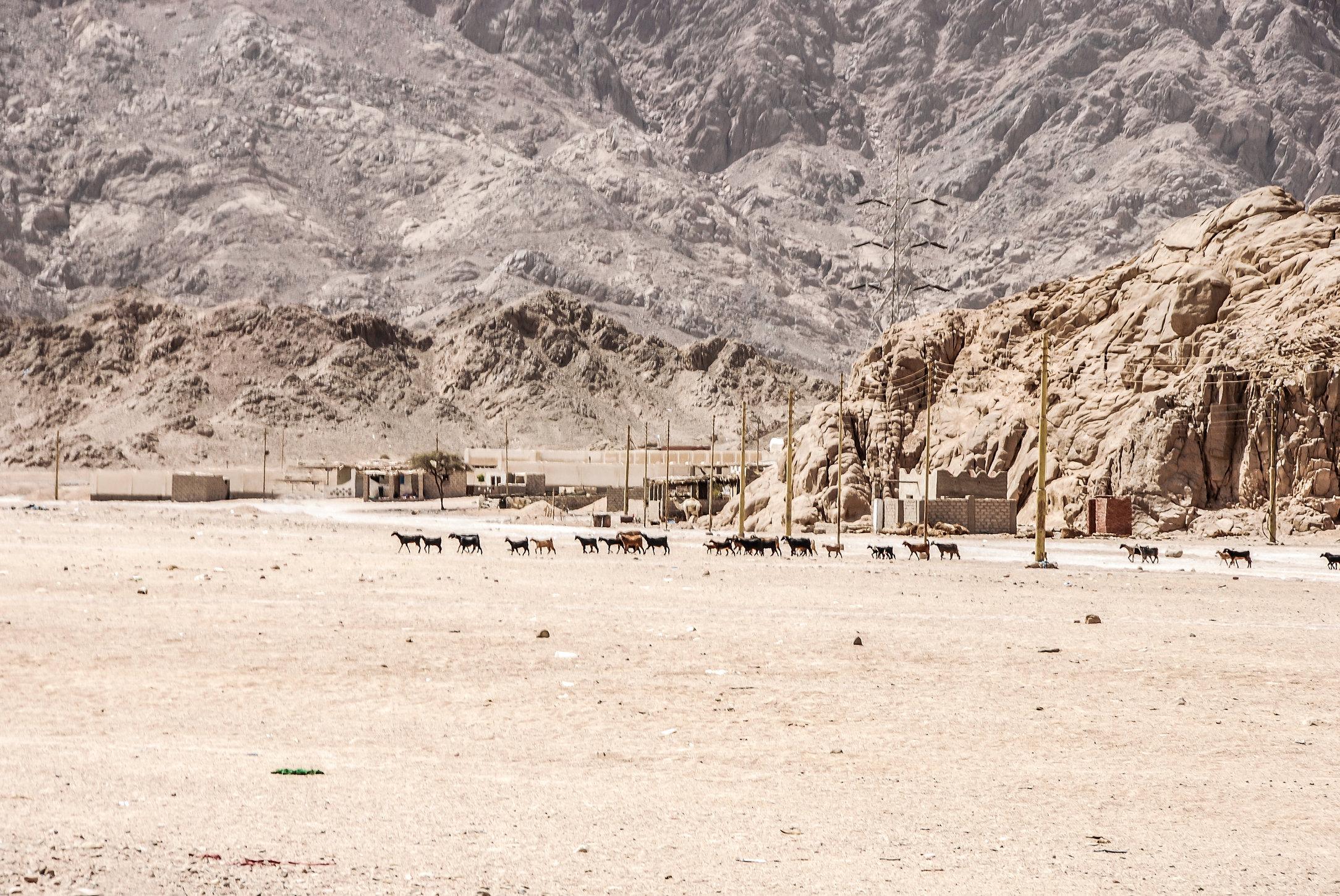 Desert goats.jpg