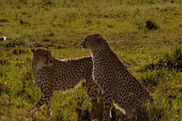 Cheetah Brothers, Masai Mara