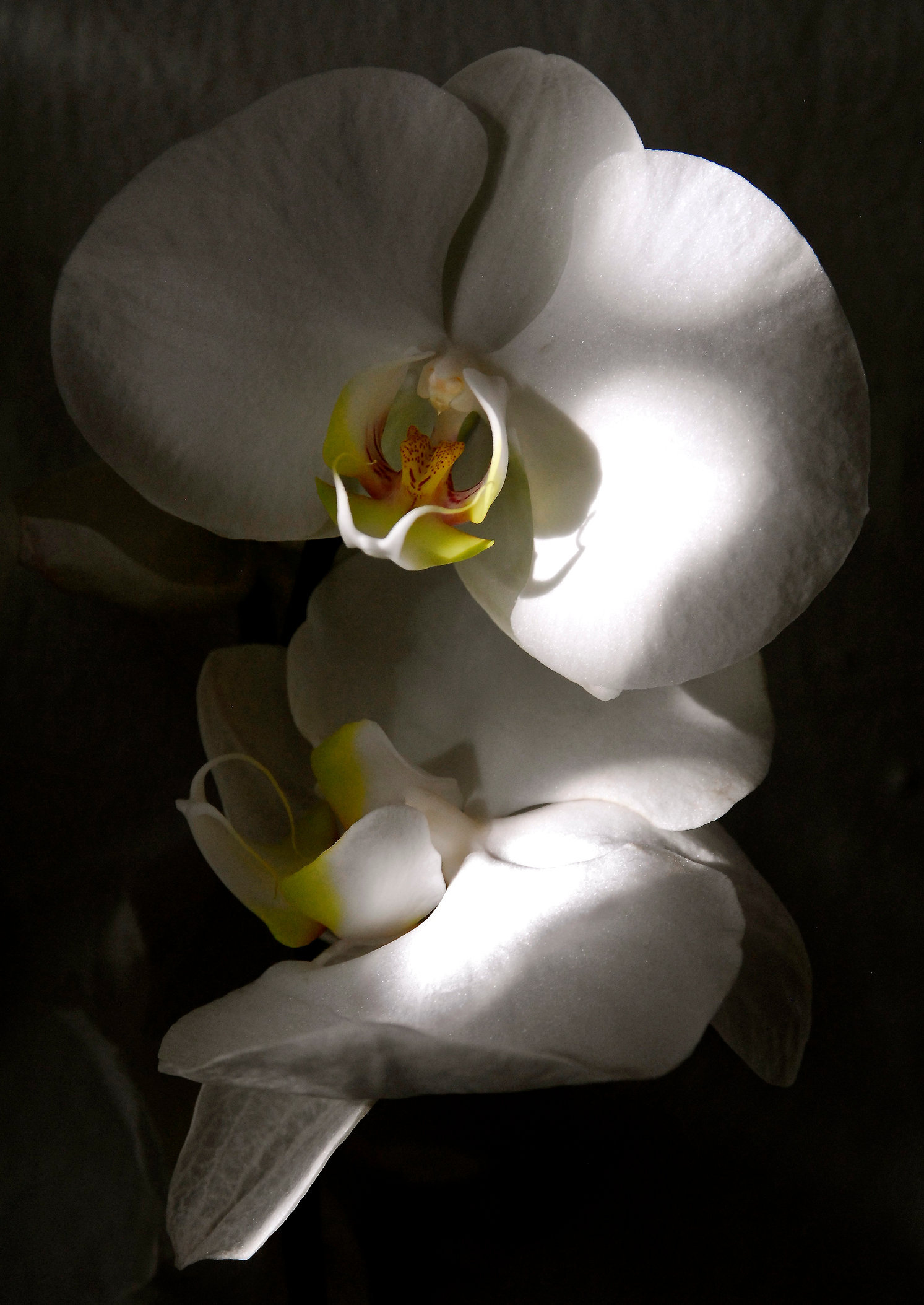 White Orchid in Shadow