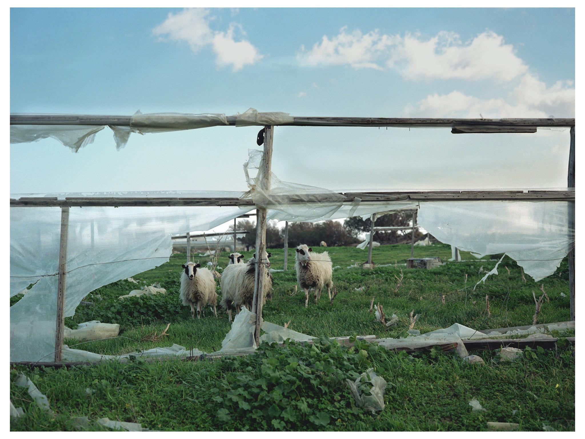 Animal Series Sheep Greece.jpg