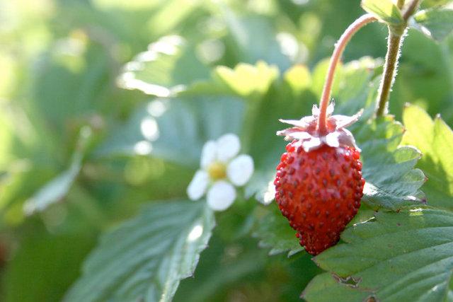 StrawBerryFlower.jpg