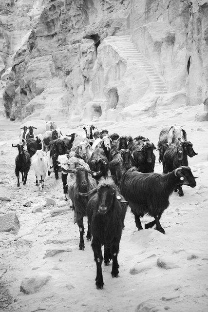 Bedouin Goats