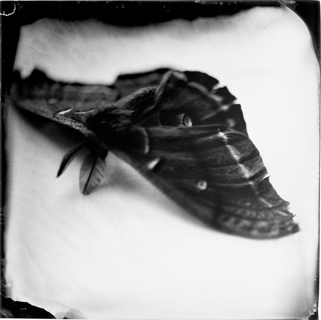 Antheraea polyphemus, 19th century