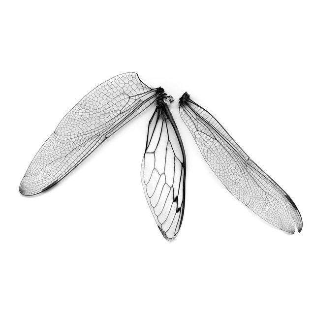 Dragonfly & Cicada Wings, 21st century