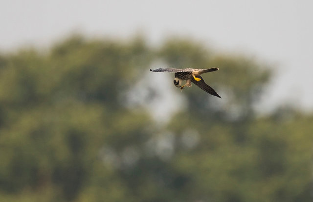 Hobby eating dragonfly