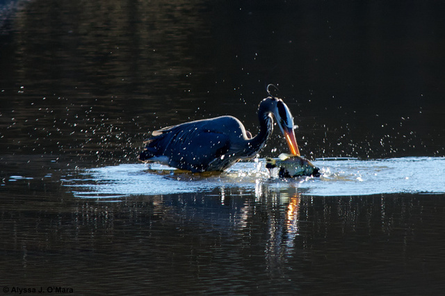 Fishing Heron 2, Southborough, MA